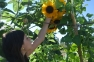 Sunflowers and fun farm camps